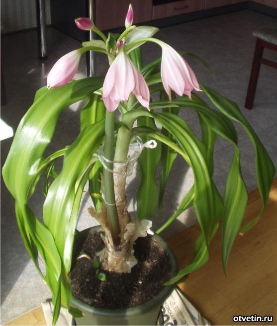 Луковичные цветы уход в домашних условиях фото 252